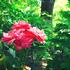 チャペルのバラ