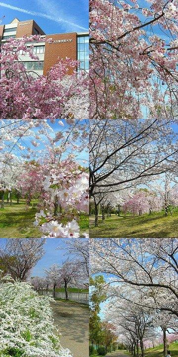 sakura2014nagoya02.jpg