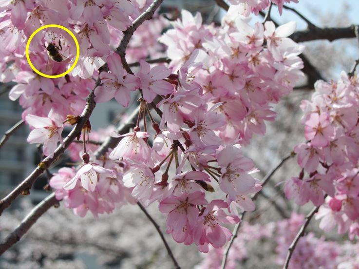 桜と蜂.JPG